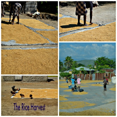Rice Harvest Collage